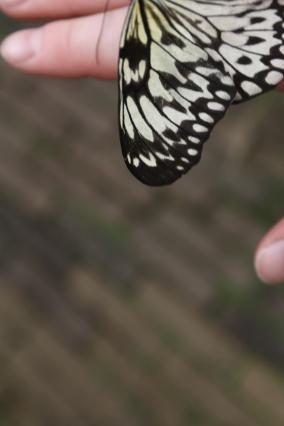 Schmetterling Flügel