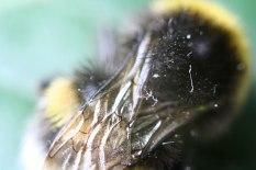 Hummel Flügel