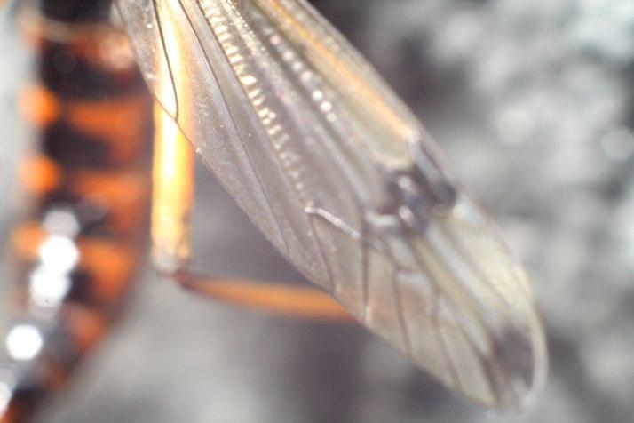 Kammschnake/Schlupfwespe