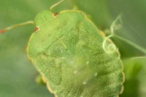 grüne Wanze