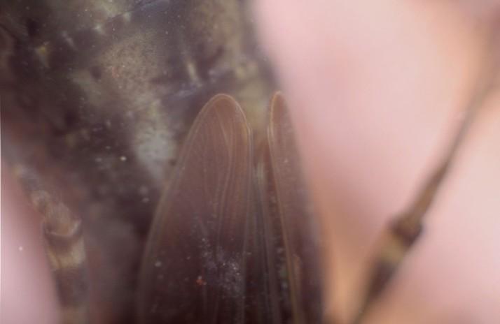 Libellenlarve
