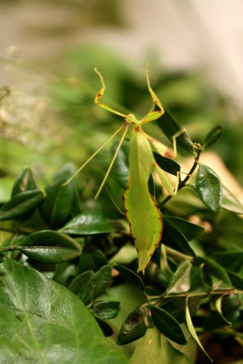 Lebendes Blatt Männchen
