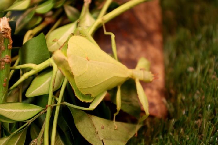 Lebendes Blatt Weibchen