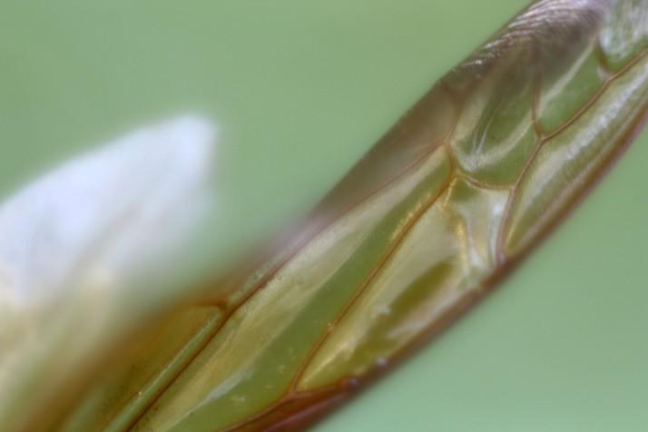 Hornissen Flügel 7