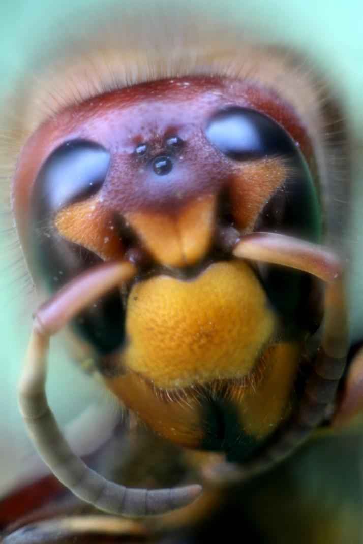 Hornissen Kopf 1
