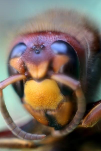 Hornissen Kopf 2