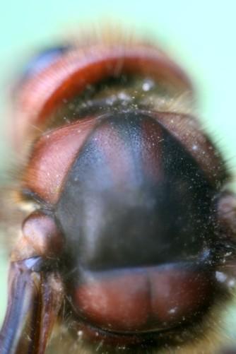 Hornissen Rücken 2