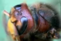 Hornissen Kopf 3