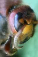 Hornissen Kopf 4