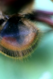 Hornissen Rücken 1