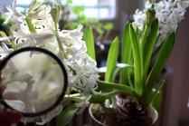hyacinthen-01