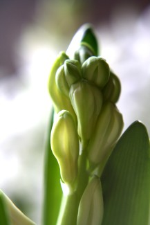 hyacinthen-03