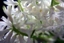 hyacinthen-05