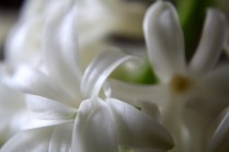 hyacinthen-06