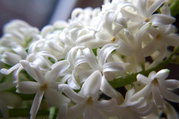 hyacinthen-11