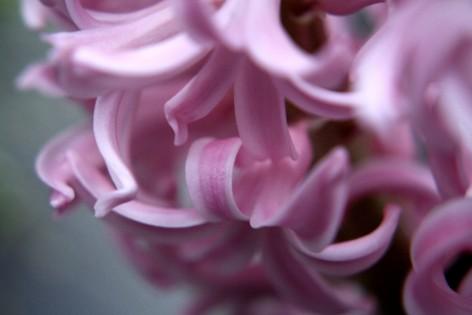 hyazinthe-rosa-04