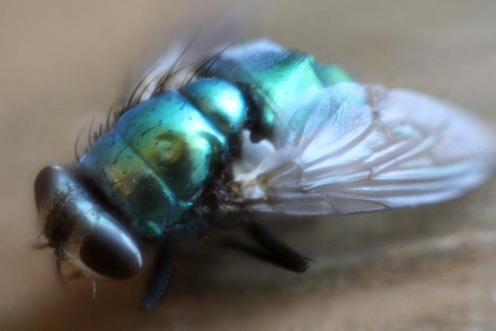 Fliege.jpg