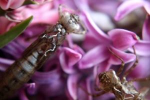 Libellenlarven Häutung 05