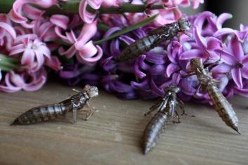 Libellenlarven Häutung 07