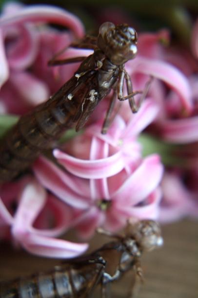 Libellenlarven Häutung 09