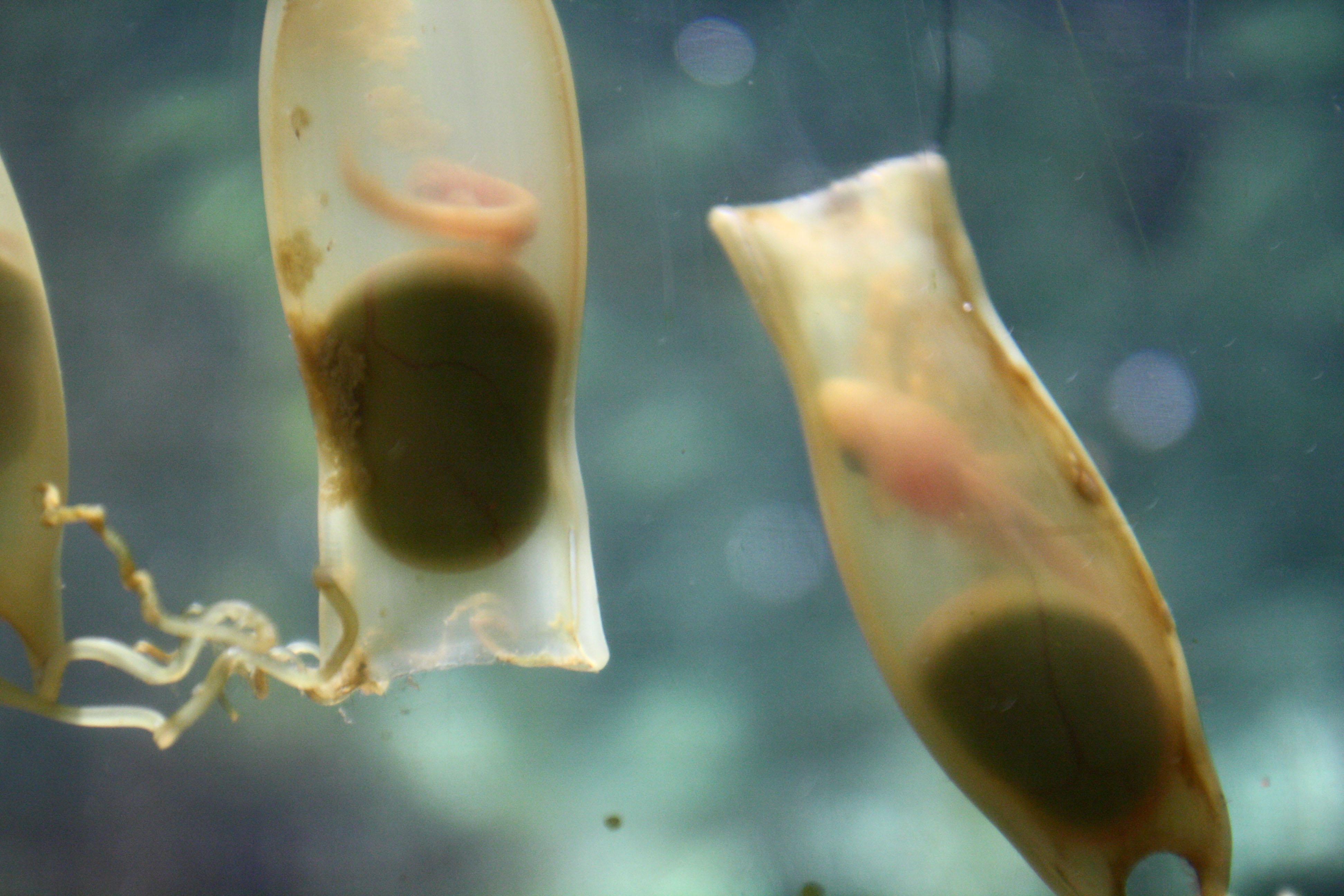 Katzenhai Eier