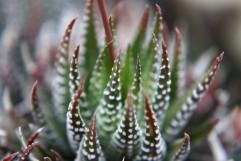 Kaktus 03
