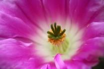 Kaktusblüte 01