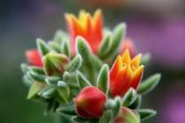 Kaktusblüte 02