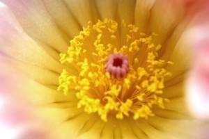 Kaktusblüte 03