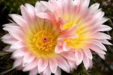 Kaktusblüte 04
