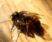 Trinkende Biene