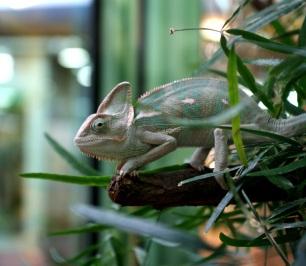 Chameleon 1